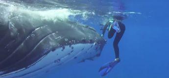 VIDEO Une plongeuse évite l'attaque d'un requin grâce à une baleine qui la cache sous son nageoire
