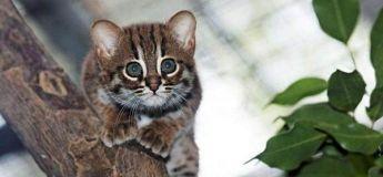 Découvrez le chat rubigineux le plus petit du monde, pas plus grand qu'un chaton ordinaire