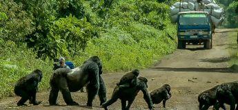 Face à face dans la jungle avec les gorilles