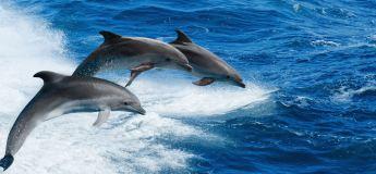 Des milliers de dauphins massacrés silencieusement sur les côtes françaises