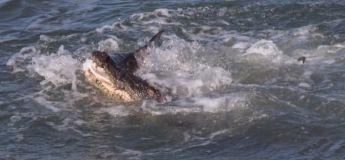 Un crocodile et u requin s'affrontent pour un poisson