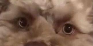 Un chien presque humain, affole le web