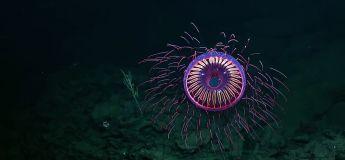 Un feu d'artifice de haute mer avec cette méduse Halitrephes