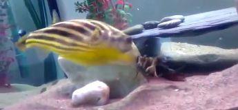 Un poisson mordu par ce crabe va péter les plombs et le bouffer intégralement !