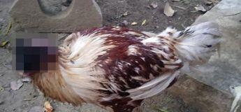 Le mystère de la poule toujours vivante 10 jours après avoir perdu sa tête