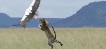 Une cigogne voit sa vie défiler dans cette attaque de guépard