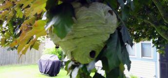 Comment un drone peut aider à détruire des nids de frelons dans les arbres