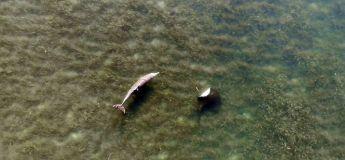 Un dauphin et une raie s'amusent sur ces superbes images de drone
