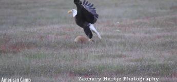 Un renard avec un lapin dans la gueule se fait surprendre par un aigle
