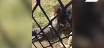 Vidéo Choc : Un lion attaque l'homme qui l'a élevé depuis sa naissance