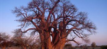 Les baobabs millénaires d'Afrique disparaissent à cause du dérèglement climatique