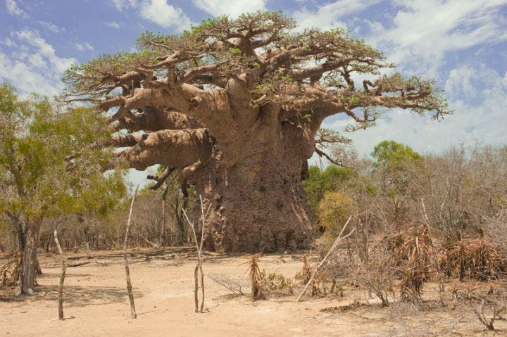 Disparition des plus vieux baobabs d'Afrique