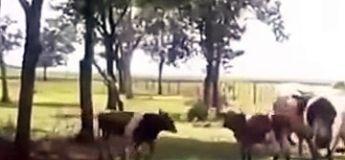 Etonnant : une chèvre met KO une vache lors d'un duel
