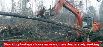 La vidéo d'un orang-outan qui lutte face à une pelleteuse de déforestation