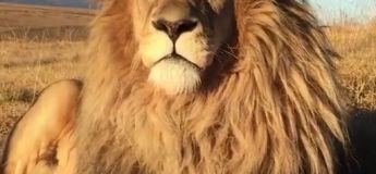 Le weekend est officiellement sponsorisé par ce lion