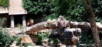 Un héron se pose chez l'enclos des lions en simple visiteur : RIP à sa vie