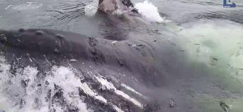 Une baleine vient manger… dans une marina