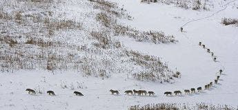 Mythe : La description de la photo d'une meute de loups