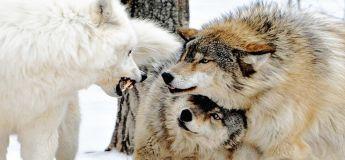 Mythe : La louve protège la gorge du mâle pendant un combat