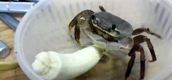 La vidéo d'un crabe qui mange une banane va vous surprendre