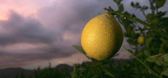La course d'un citron hypnotise des millions de personnes sans aucune raison