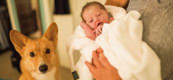 L'aide précieuse des corgis d'une femme durant son accouchement