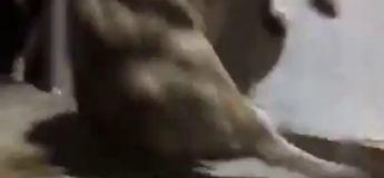 Un lâcher de taureaux qui finit droit dans le mur !