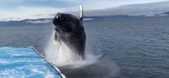 Les touristes en ont pour leur argent avec ce saut de cette baleine à bosse (vidéo)