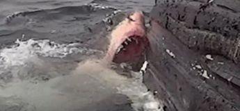 Un Grand Requin Blanc dévore une baleine à bosse (vidéo)
