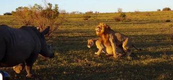 Un lion perturbé dans une scène d'amour avec sa lionne par un rhinocéros