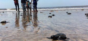 Pour la première fois depuis une vingtaine d'années, les tortues reviennent à Indian Beach