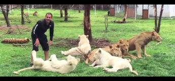 Quand un tigre sauve la vie de son dresseur attaqué par un léopard