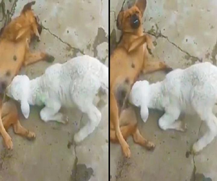 Un agneau affamé tente désespérément de téter une chienne