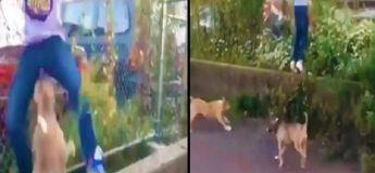 Un jeune homme se fait croquer l'entrejambe par un pitbull ses amis se marrent