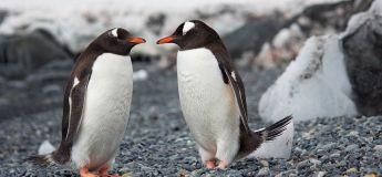 Un couple de pingouins gays kidnappe un poussin de ses parents biologiques