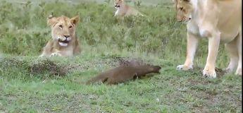 Quand une mangouste fait respecter son territoire face à des lionnes
