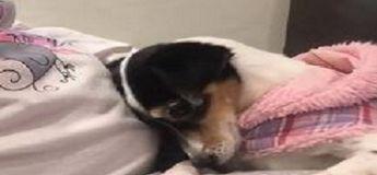 Un chien montre un signe d'affection pour sa «sœur» avant même d'être mis au monde