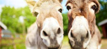 Des nouvelles lois pour le bien des ânes en Grèce avec un poids maxi de 100 kg