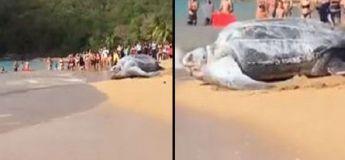 Une gigantesque tortue, filmée sur une plage, a fasciné les touristes
