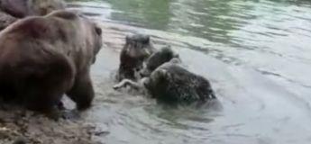 Ces ours dévorent un loup vivant sous le regard des visiteurs effrayés dans un zoo