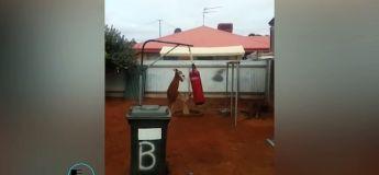 Images étonnantes d'un Kangourou frappant un sac de boxe dans la cour