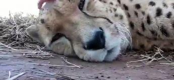 Le son du guépard qui aime les câlins : Grrrrr