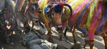 Cette cérémonie bizarre en Inde se fête en se laissant se faire écrasé par des vaches !