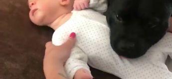 Vidéo étonnante d'un chien un peu trop protecteur avec ce bébé