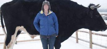 Un taureau canadien appelée Dozer est « plus gros » que la vache Knickers