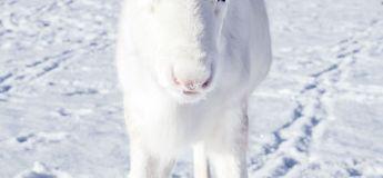 Un photographe capture en images un bébé renne blanc à craquer