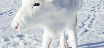 Animaux : un bébé renne blanc photographié en Norvège