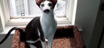 Stache Cat, le chat avec une moustache exceptionnelle !