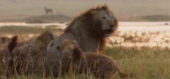 Un lion entouré par une meute de 20 hyènes arrivera t-il à s'en sortir  ?