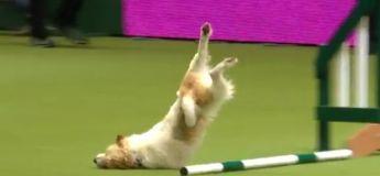 Ce chien est peut-être le pire participant jamais vu dans l'histoire des compétitions